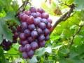 青岛特产-大泽山葡萄