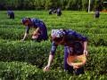 青岛特产-崂山绿茶