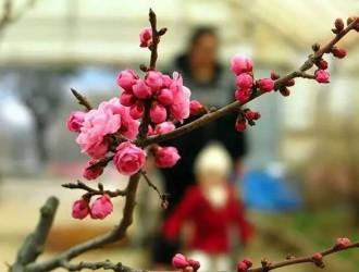 青岛中山公园梅花已悄然开放